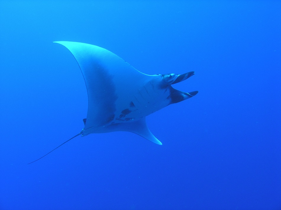 North-Kona-Manta Ray